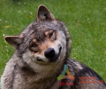 волк улыбака